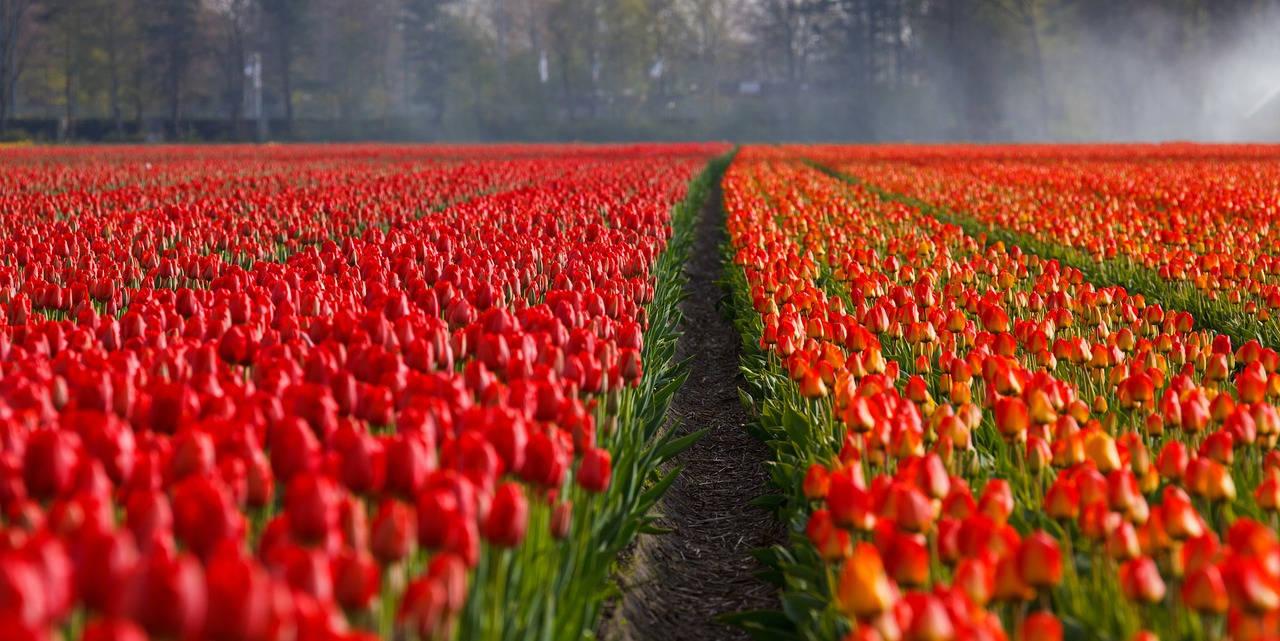 prendre soin des tulipes