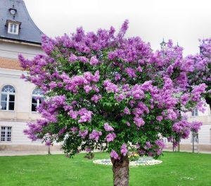 Lilas arbuste