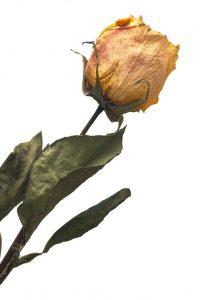 Rose fanée